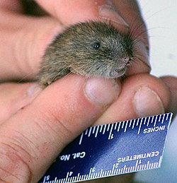 White-footed vole.jpg
