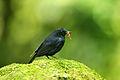 White-tailed Blue Robin.jpg