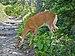 White-tailed doe in Glacier National Park (DSC 0651).jpg