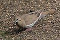 White-winged Dove National Butterfly Center Mission TX 2018-02-28 15-32-35 (40620772732).jpg
