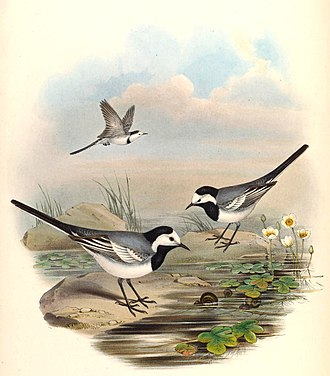 White wagtail - Painting by John Gould.