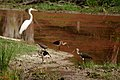 White Ibises & Great Egert 2 (5967697542).jpg