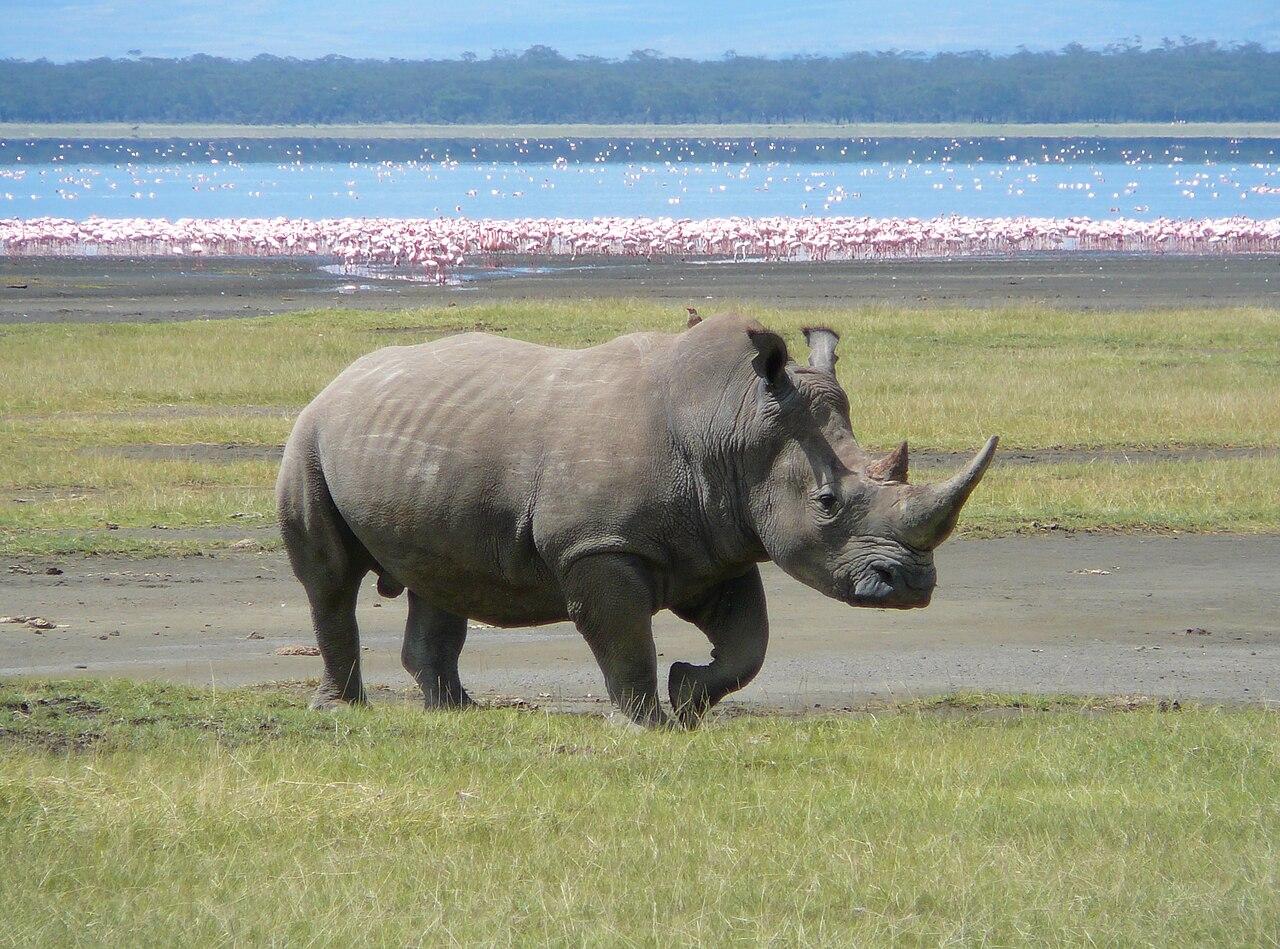 https://upload.wikimedia.org/wikipedia/commons/thumb/4/49/White_Rhino_in_Lake_Nakuru_3.jpg/1280px-White_Rhino_in_Lake_Nakuru_3.jpg