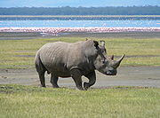 pic: southern white rhino, Last Chance to See