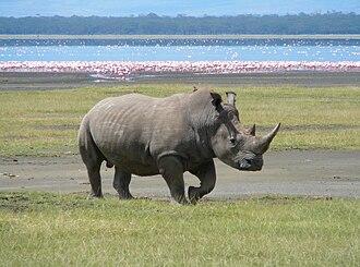 Last Chance to See (TV series) - A southern white rhino at Lake Nakuru, Kenya