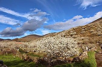 White cherries 03.jpg