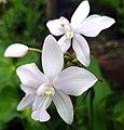 White orchid in kerala.jpg