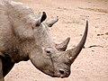 White rhino (6880954953).jpg