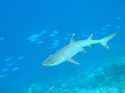 Whitetip-reef-shark.jpg
