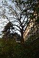 Wiener Naturdenkmal 692 (Währing) h.JPG