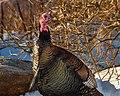 Wild Turkey (32210365423).jpg