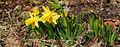 Wilddaffodils.jpg
