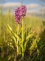 Wilde orchideeën in het Lauwersmeer gebied.jpg