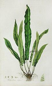 Scolopendrium vulgare, from William Curtis's Flora Londinensis