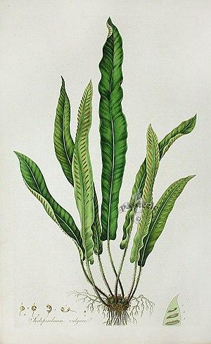 Flora Londinensis - Image: William Curtis, Scolopendrium vulgare