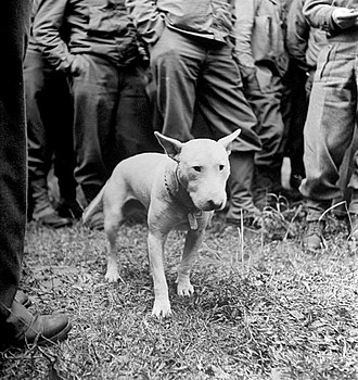 Bull Terrier - Willie, wearing his regulation Army dog tag, with General Patton and the U.S. Third Army on the drive to Paris (August 1944)