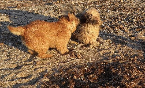 Windspiel mit Hunden.jpg