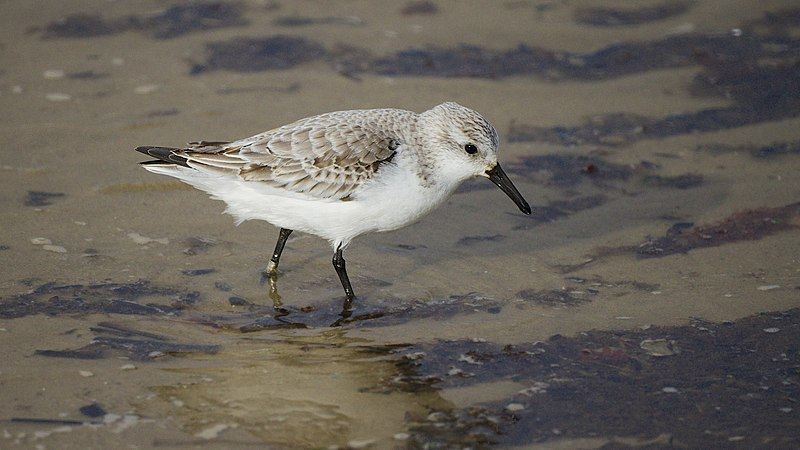 File:Winter is a time for waders (8446870687).jpg
