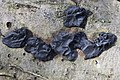 Witches' butter - Exidia nigricans - panoramio (3).jpg