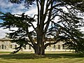Woburn Abbey, Cedar of Lebanon.jpg