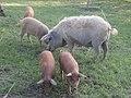 Wollschwein mit Ferkel PM14-08.jpg