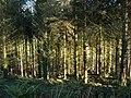 Woodland near Badharlick - geograph.org.uk - 718477.jpg