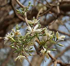 Wrightia tinctoria in Hyderabad W IMG 7505.jpg