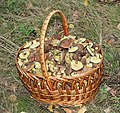 Xerocomellus chrysenteron, Edible fungi in basket 2013 G2.jpg