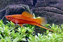 Swordtail - a beautiful female Sword Tail swimming in a large ... | 147x220
