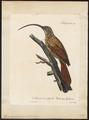 Xiphorhynchus procurvus - 1825-1834 - Print - Iconographia Zoologica - Special Collections University of Amsterdam - UBA01 IZ19200253.tif