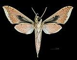 Xylophanes meridanus MHNT CUT 2010 0 49 Parque Nacional Henri Pitter (Rancho Grande), Venezuela ventral.jpg