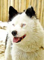 ...использованием Якутских лаек как ездовых и охотничьих собак.