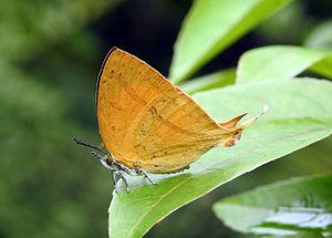 Loxura atymnus - Image: Yamfly Loxura atymnus by Dr. Raju Kasambe DSCN4532 (19)