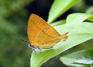 <i>Loxura atymnus</i> species of insect