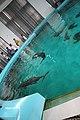 Yangtze finless porpoise, 27 July 2011b.jpg