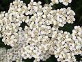Yarrow (Achillea millefolium) top (4851327850).jpg