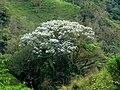 Yarumo blanco (Cecropia telealba) - Flickr - Alejandro Bayer.jpg
