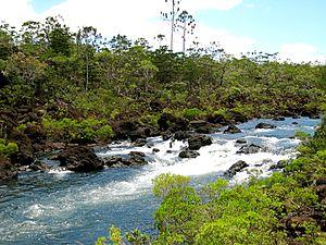 New Caledonian Araucaria - Araucaria muelleri population, Yaté, New Caledonia