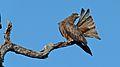 Yellow-billed Kite (Milvus aegyptius) (6025398195).jpg