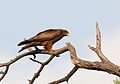 Yellow-billed kite, Milvus aegyptius, at Elephant Sands Lodge, Botswana (31872492850).jpg