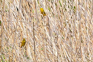 American yellow warbler - Male (above) and female yellow warblers foraging in a reedbed, Mill Creek Streamway Park, Kansas (United States)