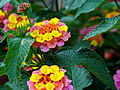 Yellow and Pink Lantana.jpg
