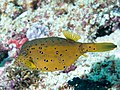 Yellow boxfish (Ostracion cubicus) (40814638873).jpg