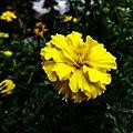 Yellow marigold.jpg