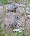 Young Uinta Ground squirrels (Urocitellus armatus), Coulter Bay, Grand Teton NP (19621354755).jpg