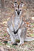Young red necked wallaby.jpg