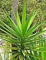 Yucca aloifolia 2.jpg