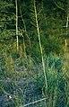 Yucca arkansana subsp. louisianensis fh 1180.53 TX B.jpg