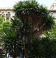 Yucca elephantipes a P. Letamendi.JPG