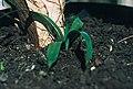 Yucca lacandonica fh 0376 MEX in cultur B.jpg